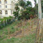 Tree Saplings after Plantation